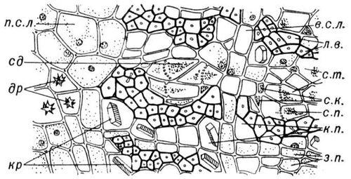 Анатомическое строение луба липы