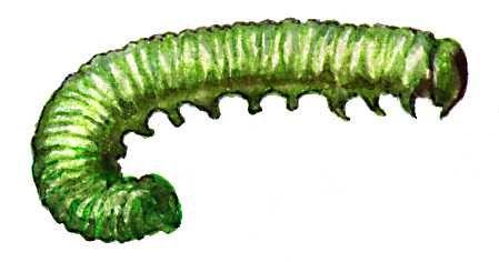 Бледноногий крыжовниковый пильщик (личинка)