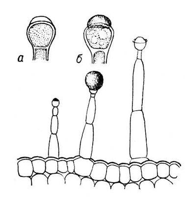 Железистые волокна