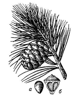 Кедровая сосна сибирская