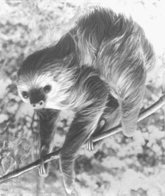 Ленивец  двупалый