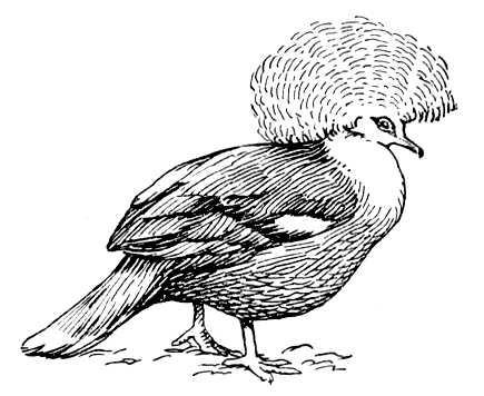 Обыкновенный венценосный голубь