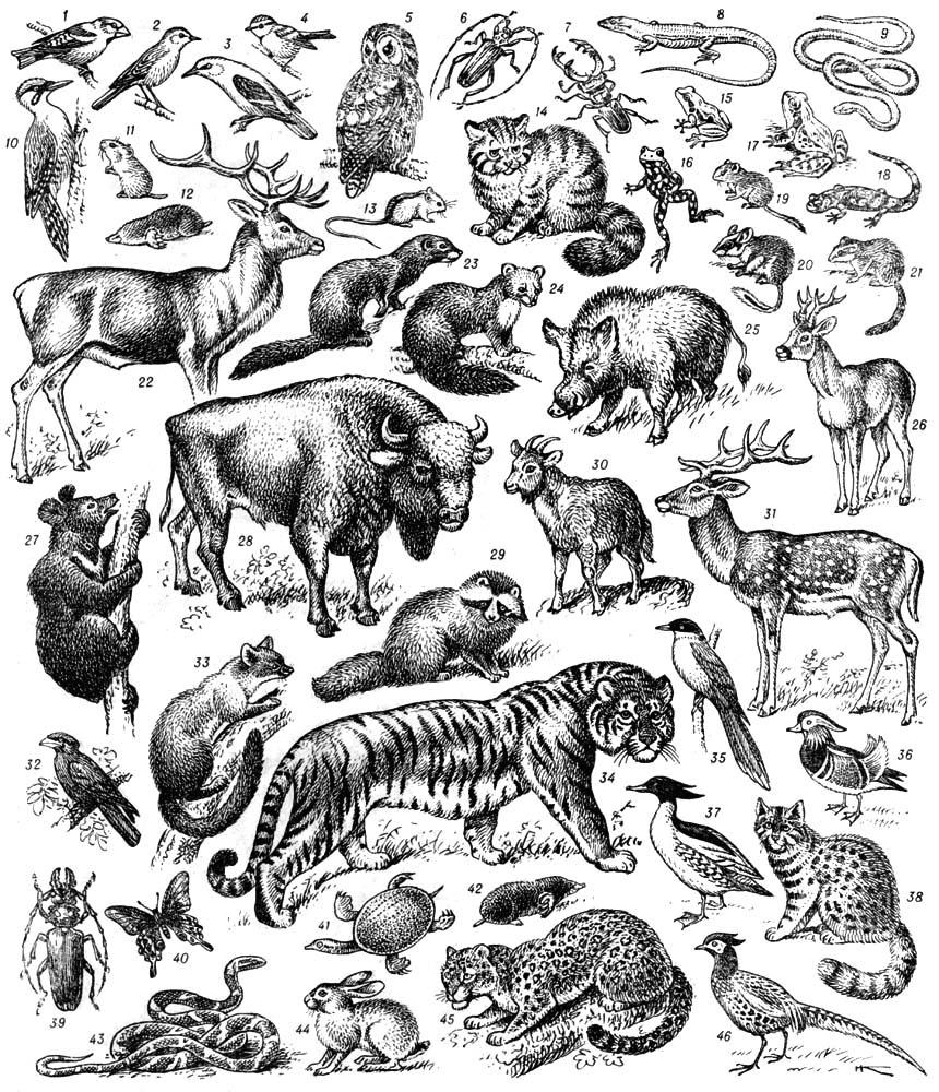 Представители фауны европейских и дальневосточных широколиственных лесов