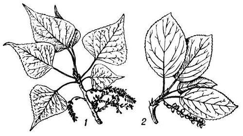 Тополь (ветви с плодами)