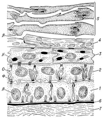 Эпидермис млекопитающего