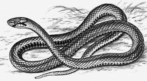 Эскулапова змея. Рис.