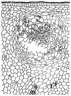 Эфирномасличная желёзка