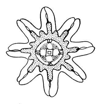 Эфира сцифомедузы