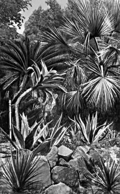 Юкки, агавы и пальма эритея вооружённая (Батумский ботанический сад)