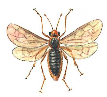 Яблонный пилильщик (взрослое насекомое)