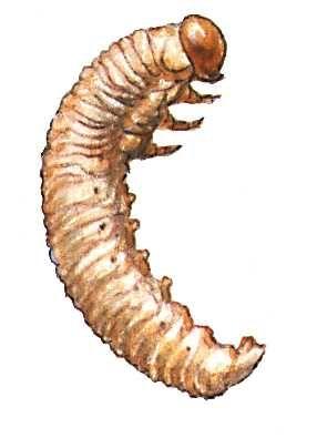 Яблонный пилильщик (личинка)