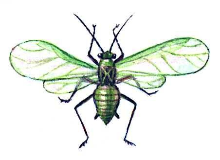 Яблонная зелёная тля. Крылатая самка