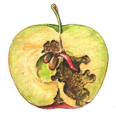Яблонная плодожорка (гусеница внутри плода)