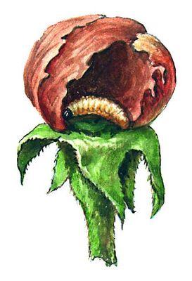 Яблонный цветоед (личинка в бутоне)