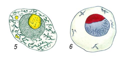 Ядра яйцеклеток моллюсков рода Littorina