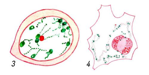 Яйцеклетки креветки рода Palaemon