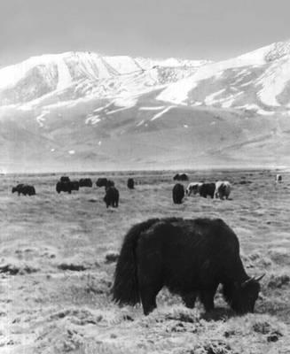 Якин на пастбище (Горно-Бадахшанская область)
