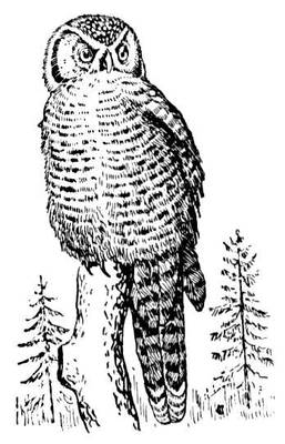 Ястребиная сова. Рис.