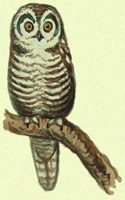 Ястребиная сова (Голарктическая область)